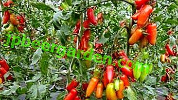 """Variété de tomates pour les paresseux """"Khokhloma"""""""