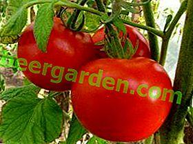 """Tomate précoce savoureuse avec un nom romantique - """"Earthly Love"""": description de la variété et des caractéristiques de la culture"""