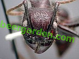 Sept mille ruisseaux de source ancienne - espèces de fourmis