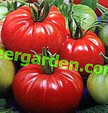 """Douceur sur la table - tomate """"Dobrynya Nikitich"""": méthodes de culture et description de la variété"""