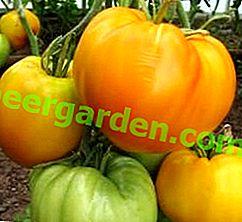Gelbe und leckere Tomate auf Ihren Betten - Beschreibung der Tomatensorte Golden King