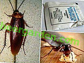 Remède populaire pour les cafards - acide borique avec un œuf: recettes, recommandations d'utilisation, avantages et inconvénients du médicament