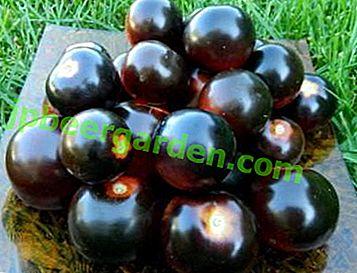 Апетитні томати незвичайного кольору Чорна гроно: опис сорту, характеристики, фото