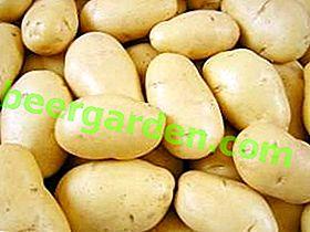 Wczesne dojrzewanie odmian ziemniaka Latona: doskonały smak, wysoka wydajność