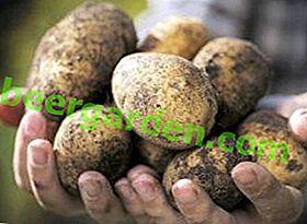 """Varietà di patate fatta in casa """"Nikulinsky"""": coltivazione, descrizione della varietà, caratteristiche e foto"""