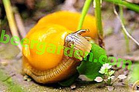 Як врятувати урожай: ефективні хімічні засоби від слимаків в городі