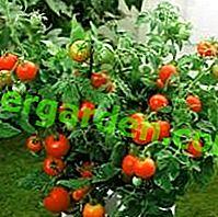 """Splendida varietà di pomodoro """"Liana"""": qual è la sua unicità, descrizione, caratteristiche, foto"""