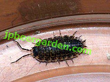 Засоби боротьби з комахами: як позбутися від мокриць в квартирі самостійно?