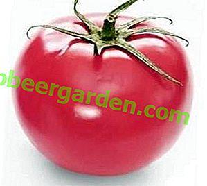 """Prinziplos und produktiv - Beschreibung und Eigenschaften einer wunderbaren unprätentiösen Tomatensorte """"Windrose"""""""