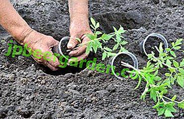 Wir sorgen für eine gute Ernte: Erde für Tomatensämlinge
