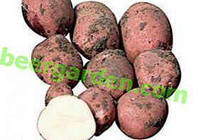 Стійкий до колорадським жукам картопля «Рамона»: опис сорту, фото та інші особливості