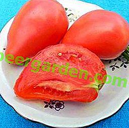 """Garten- und Tischdekoration - Tomatensorte """"Pink Stella"""": Beschreibung, Eigenschaften, Fotos von Tomatenfrüchten"""
