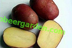 Rocco Tischkartoffeln: Sortenbeschreibung, Foto, Eigenschaften