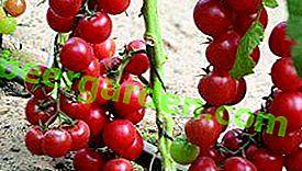 Смачний і примхливий гібрид F1- сорт томата «Черрі Іра»!  Фото, опис та рекомендації з посадки та догляду