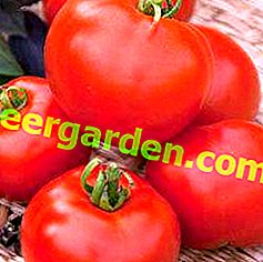 """Tomate préférée """"cadeau"""": description et caractéristiques de la variété"""