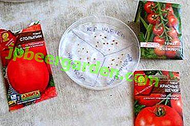 Les nuances du trempage des graines de tomate dans le peroxyde d'hydrogène avant la plantation.  Conseils de semis