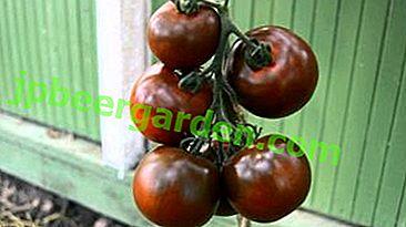 """Pomidor """"Kumato"""": opis odmiany czarnych pomidorów, zalecenia dotyczące uprawy"""