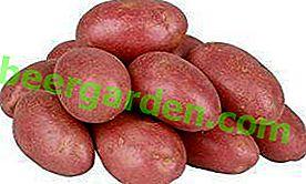 Картопля в червоному - сорт «Ред Леді»: опис з характеристиками плода і фотографіями