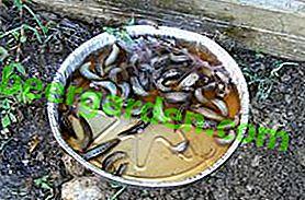 Żarłoczne szkodniki: pułapki na ślimaki i inne środki ludowe do zwalczania ślimaków
