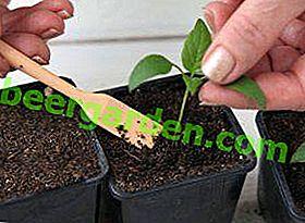 Терміни та особливості пікіровки перцю та баклажанів: як підготувати рослини і догляд за ними після процедури
