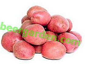 Potato Arosa: une belle variété savoureuse et à haut rendement
