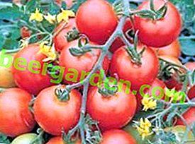 """Odporny i produktywny pomidor """"Snowfall"""" F1 - opis odmiany, pochodzenie, cechy uprawy"""
