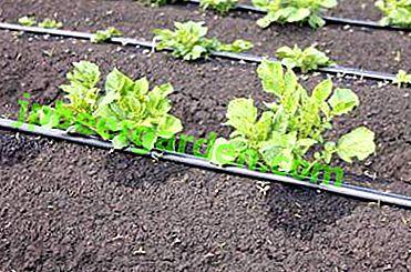 Wann und wie Kartoffeln bewässern und wie mit der Tropfmethode?