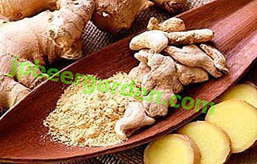 Le gingembre peut-il être utilisé pendant la grossesse?  Recettes utiles de thé aux racines.