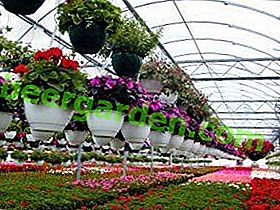 Цвеће и посао: исплативост узгоја ружа и тулипана у пластеници