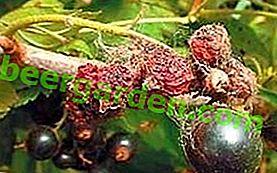 Misure di controllo degli acari del ragno su lamponi, ribes, fragole, uva e persino limone