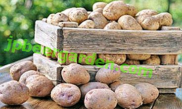 Cadeau d'obtenteur - Pomme de terre «Fairy Tale»: description de la variété, caractérisation, photo