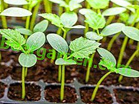 Садимо краставце: семе за стакленике или саднице?  Избор, правила за сјетву и садњу, фотографија