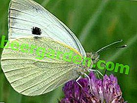 Прелепи непријатељ ваше баште: лептир купус