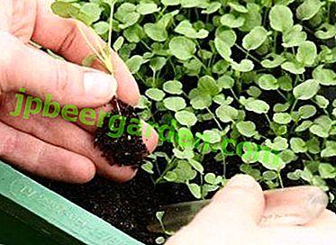 Суптилности баштованства - шта је избор босиљка и како га спровести?