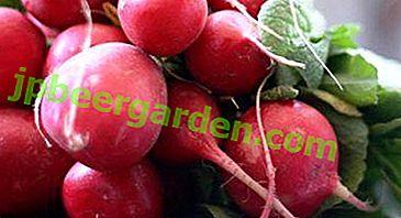 Tout sur la variété des rendements records: description et caractéristiques, culture, stockage et maladie du radis Champion