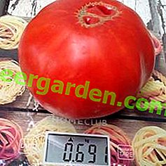Sweet Tomato Heavyweight - Description de la variété Sugar Pudovichok du jardin sibérien