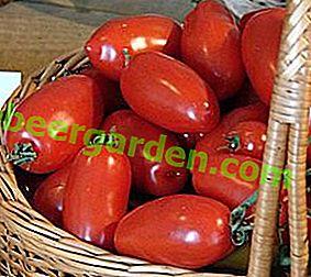"""Средно ранен сорт домат """"Чибис"""": описание, засаждане и грижи"""