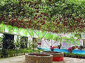 Technologie agricole moderne: caractéristiques de la technologie de culture des tomates Octopus F1 ou comment faire pousser des tomates sur un arbre?