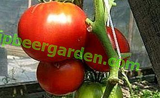 """Tomates avec le nom romantique """"Early Love"""": description de la variété, caractéristiques, photo"""
