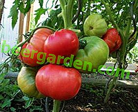 Nous cultivons facilement des tomates roses: description de la variété Robin et de ses soins