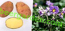Beschreibung der Vektorkartoffelsorte, die als Leistung in der Arbeit russischer Züchter anerkannt ist