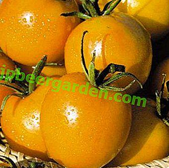 """Eine schöne Pflanze mit einer reichen Ernte an Tomatensorten - """"De Barao Yellow (Golden)"""""""