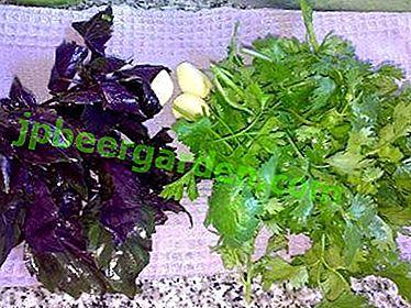 Diferențele dintre cilantro și busuioc, precum și proprietățile și caracteristicile benefice ale ierburilor