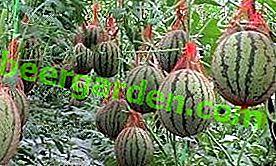Отглеждане на диня и пъпеш в оранжерия от поликарбонат: засаждане и грижи