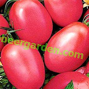 Une récolte précoce vous donnera la tomate May Rose: description et caractéristiques de la variété