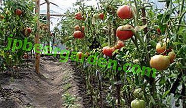 Як в одну лунку садити по два кущі помідор?  Чи можна використовувати будь-які томати або потрібні спеціальні?