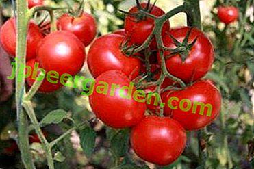 """Hybride de récolte à maturation précoce """"Katya"""": description de la variété et de ses caractéristiques"""