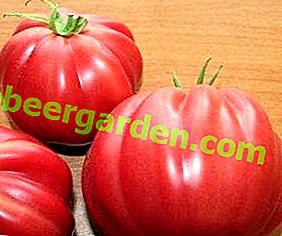 Tomates pour dent sucrée - variétés de tomates Fig Rose et Rouge