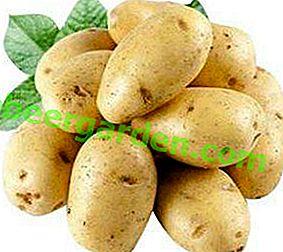 Olandezul popular în Rusia este cartoful Colombo: descrierea soiului, fotografie, descriere