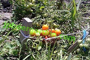 Берете вкусни домати без много проблеми - домат Калинка-Малинка: описание на сорта, неговите предимства и недостатъци